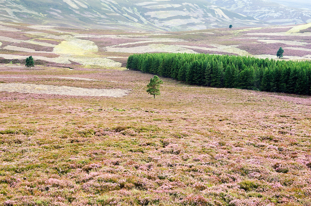 Heather in full bloom on grouse moors at Colnabaichin near Balmoral in the Grampian region of Scotland