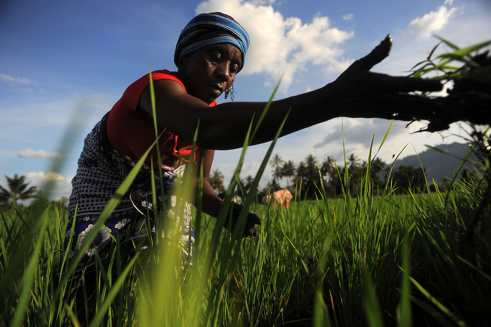 """KIROKA, TANZANIA -  13-11-02  -  Mwajuma Ramadhani weeds a rice paddy which uses the SRI technique on November 2. An FAO project to strengthen capacity of farms for climate change is underway in Kiroka, Tanzania. """"It's something we may call climate-smart agriculture,"""" says mission project co-ordinator Prof. Henry Mahoo, who teaches at the Sokoine University of Agriculture. The project aims to improve land and water management, promote climate resilient agriculture and encourage dialogue and understanding regarding climate change adaptation practices.   Photo by Daniel Hayduk"""