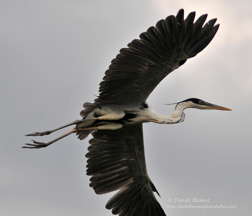 Cocoi Heron in flight on the Secure River in the Isiboro-Secure National Park, Beni, Bolivia