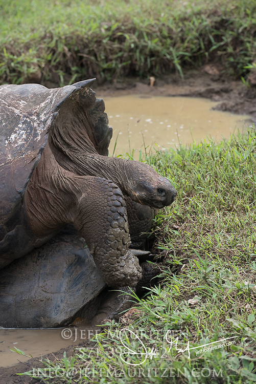 Galapagos giant tortoises mate in a small pool of water in the highlands of Santa Cruz island.