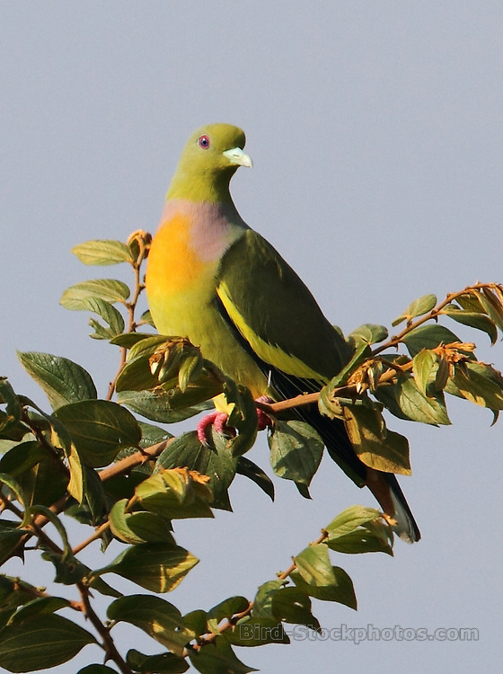 Orange-breasted Green Pigeon, Treron bicinctus, Yala, Sri Lanka, by Jonathan Rossouw