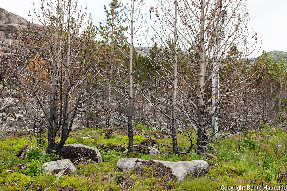 Naturen tar seg opp igjen, etter katastofebrannen på Sørneshalvøya i Flatanger i januar 2014. Mange av trærne har svimerker opp igjennom stammen, og ikke alle har overlevd.