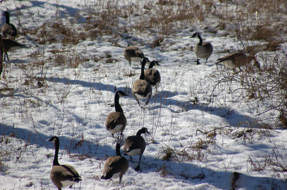 A flock of geese on the march through the snow along the D and R Canal in Hillsborough, NJ