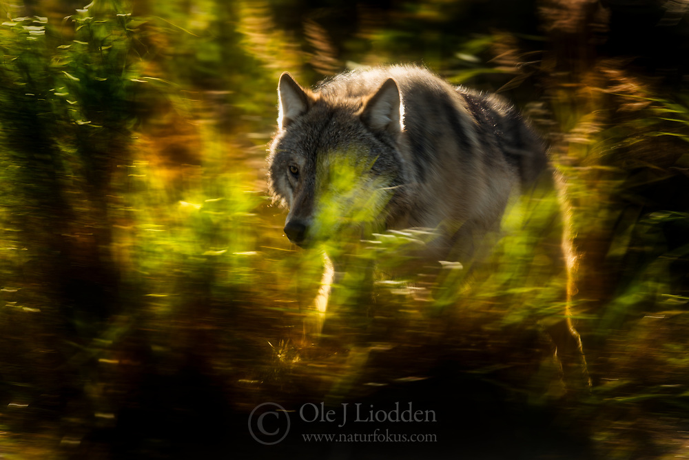 Wild Grey wolf (Canis lupus) in Katmani National park, Alaska, US