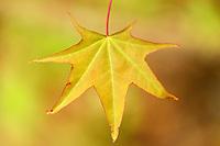 Japanese maple, Acer sp ev palmatum?.Tangjiahe National Nature Reserve, NNR, Qingchuan County, Sichuan province, China