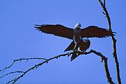 Mississippi Kites mating on tree branch - Mississippi.
