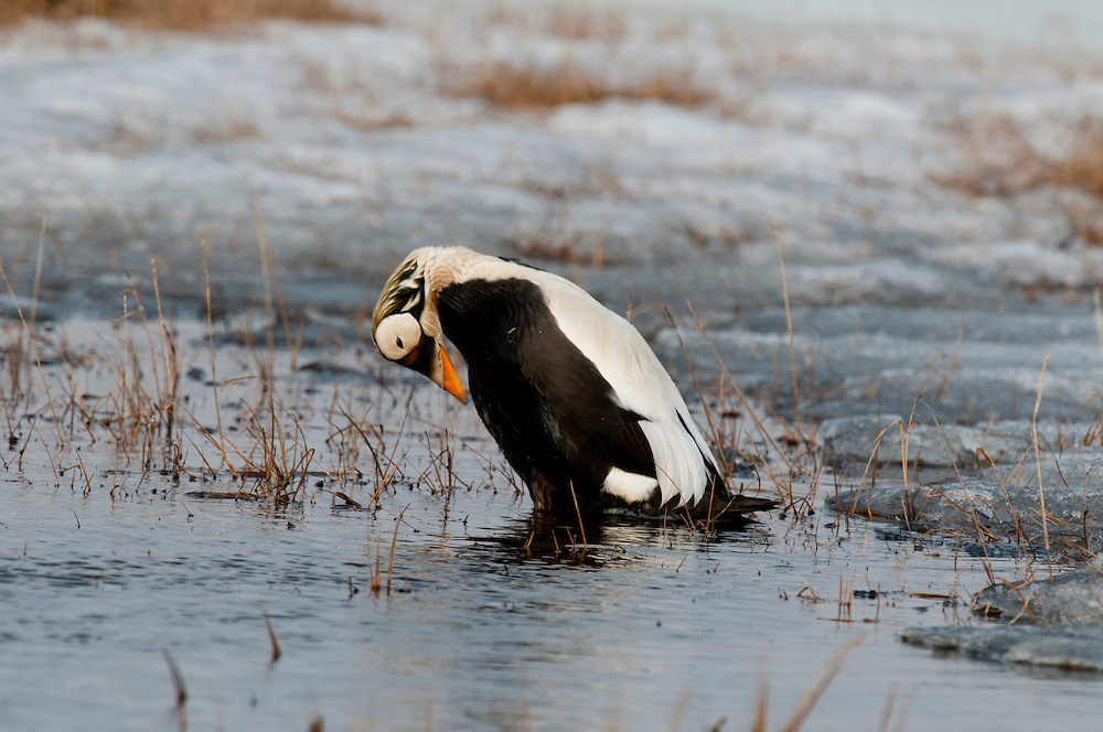 Spectacled eider drake (Somateria fischeri) preening on the edge of a tundra pond near Barrow Alaska