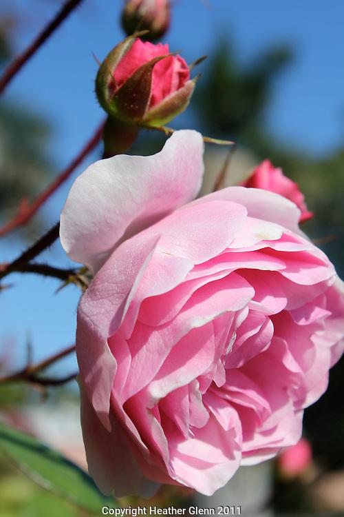 Pink Rose with Buds Sarasota, Florida