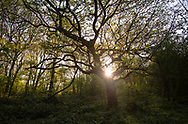 Dawn at Stoke Wood, Bicester, Oxfordshire