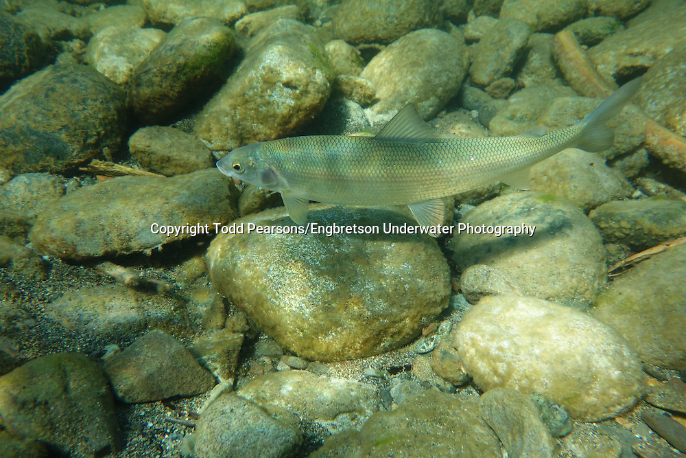 Mountain Whitefish<br />