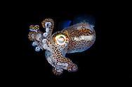 Bobtail squid, Euprymna berryi, Komodo, Indonesia.