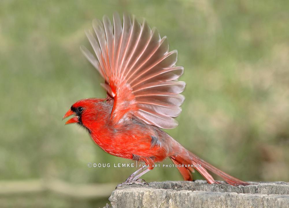 Fully Splayed Wings In Motion, A Northern Cardinal Male Taking Flight Creating A Slight Motion Blur, Cardinalis cardinalis