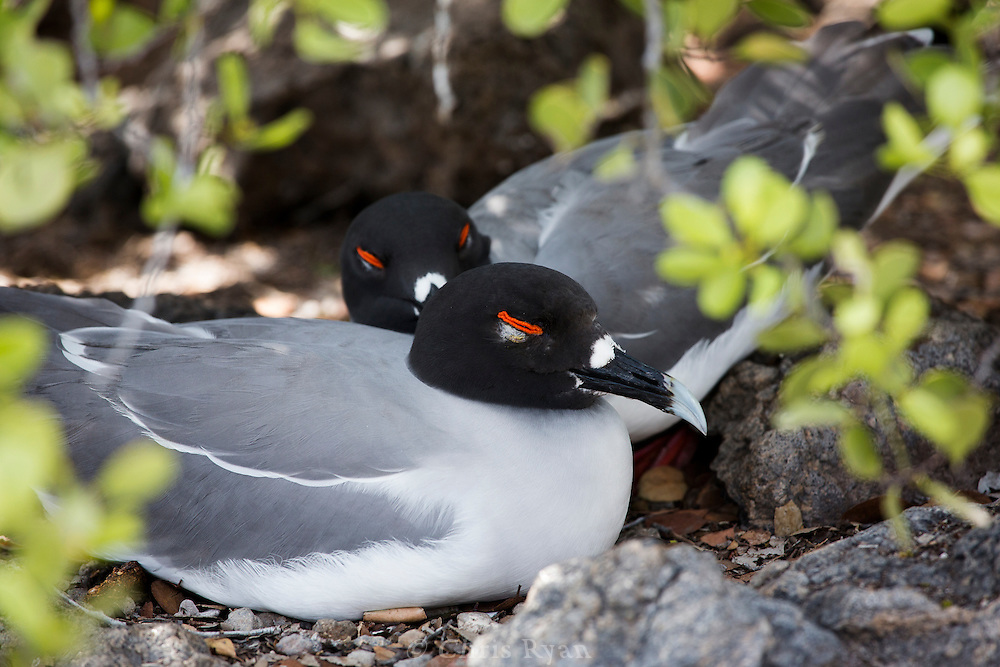 Sleeping Swallow-tailed Gulls, Galapagos