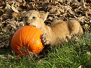 UK - Lion Cubs Play With Halloween Pumpkins - 25 Oct 2016