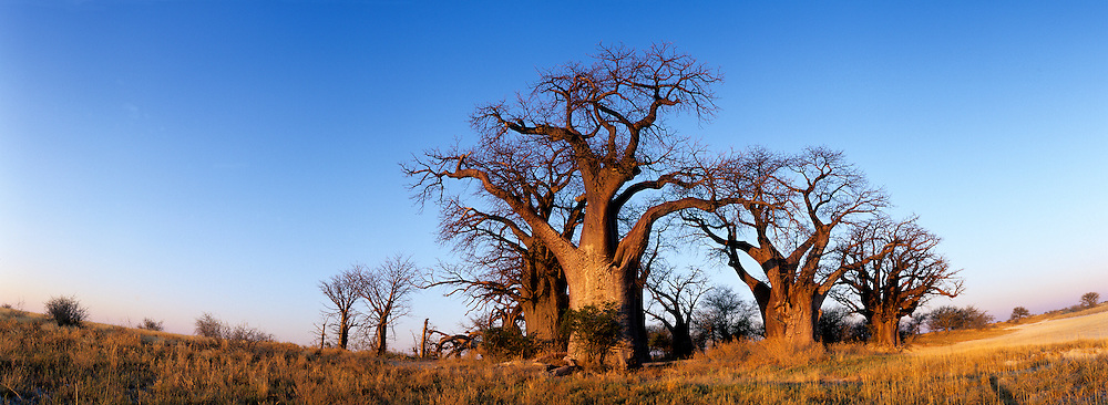 Botswana, Nxai Pan National Park, Baines Boabab trees lit by setting winter sun in Kalahari Desert