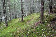 European spruce, Selbu in Norway. Granskog i Selbu, Sør-Trøndelag.