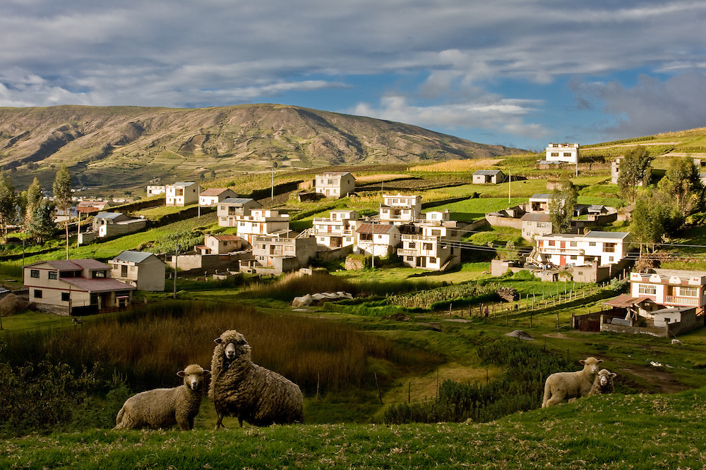 Fields and sheep in the Andes of central Ecuador