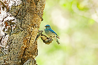 A Mountain Bluebird rests on a branch just below its nesting cavity in the northern Utah mountains.
