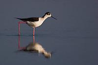 Black-winged stilt in a coastal wetland.