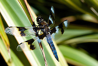 Twelve-spotted Skimmer dragonfly (Libellula pulchella) suns itself on a reed.