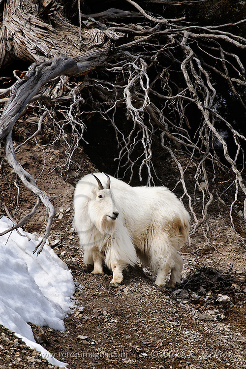 Mountain goat looking back as he feeds in late winter near an exposed root near Jackson Hole, WY
