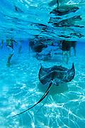 Stingrays and tourist at Stingray City, Grand Cayman, B.W.I.