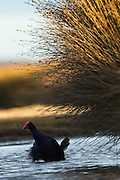 Pukeko wading through a stream alongside golden lit reeds, Daffodil Bay, New Zealand