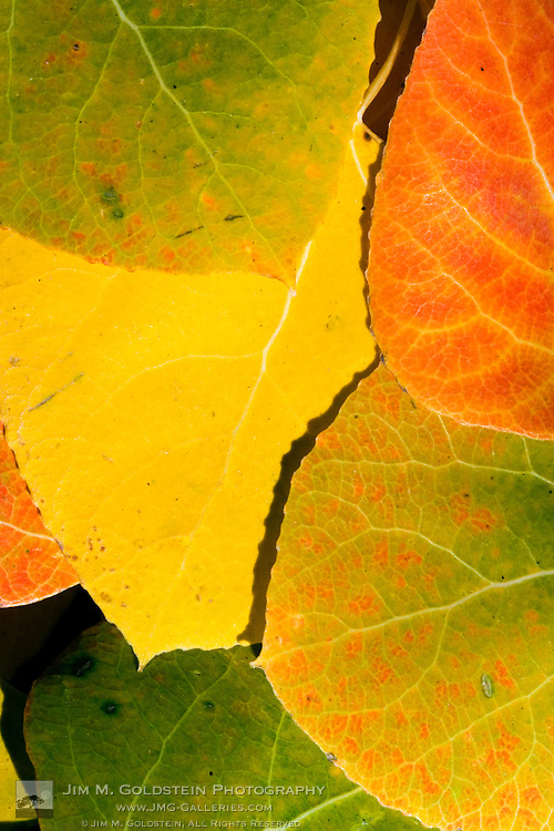 A macro of aspen leafs of a variety of color on a forest floor