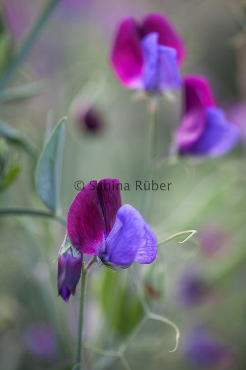 Lathyrus odoratus 'Cupani' - sweet pea