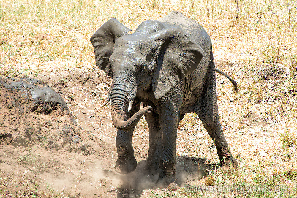 An elephant covers itself with mud at Tarangire National Park in northern Tanzania not far from Ngorongoro Crater and the Serengeti.