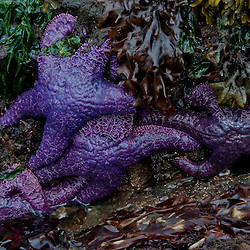 Ochre sea stars (Pisaster ochraceus), Gossip Island, San Juan Islands, Washington, US