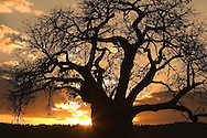 Baobab tree (Adansonia digitata) at sunset backlite. Silhouette. Tarangiri NP, Tanzania