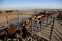 Brunette Downs Cattle Station is situated on the Barkley tablelands in Australia's Northern Territory. One of Australia's largest cattle stations..Drafting Cattle.
