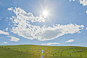 Flock of sheep toiling in a green pasture under a hot sun, New Zealand.