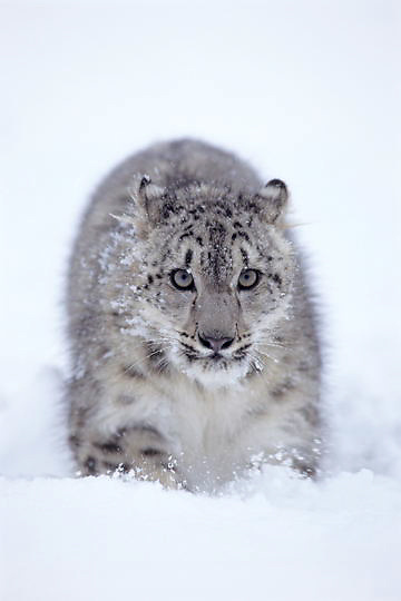 Snow Leopard, (Panthera uncia) Sub adult in snow. Inhabits the Himalaya mountains. Asia.  Captive Animal.