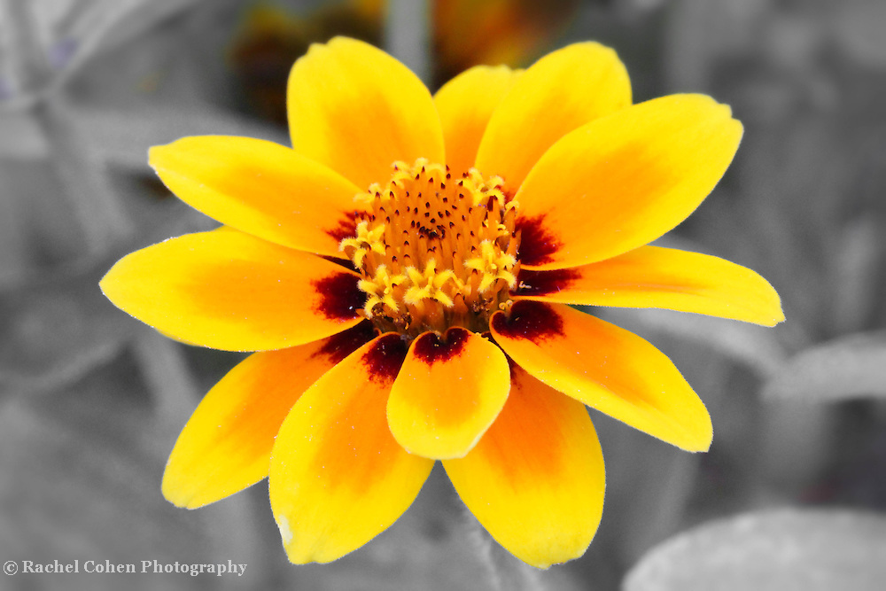 &quot;Butter and Jam&quot;<br /> <br /> A wonderful Zinnia macro in shades that look like that of bright yellow butter, and strawberry jam, on a nearly monochrome background!!<br /> <br /> Flowers and floral images by Rachel Cohen