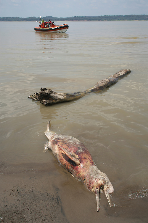 A pink river dolphin (Boto) during a drought on the Furo do Lago Cristo Reis (river of Cristo Reis lake) affluent of the Amazon river near Manaus, Brazil in 2005...©Daniel Beltra