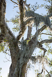 moss on a tree in The Everglades, Florida