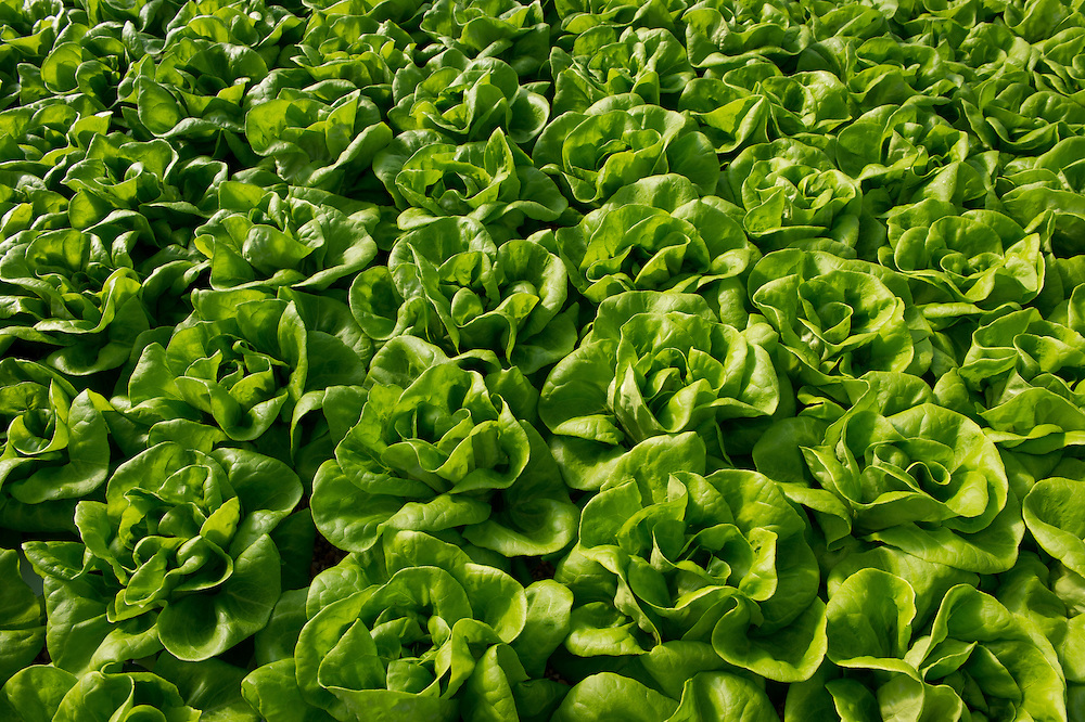 Greenhouse of Hydroponic Lettuce