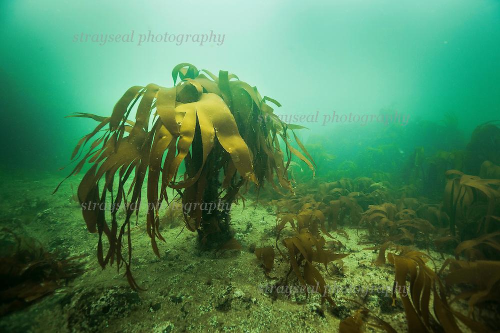 Kelp seaweed off the coast of Elie in Fife, Scotland