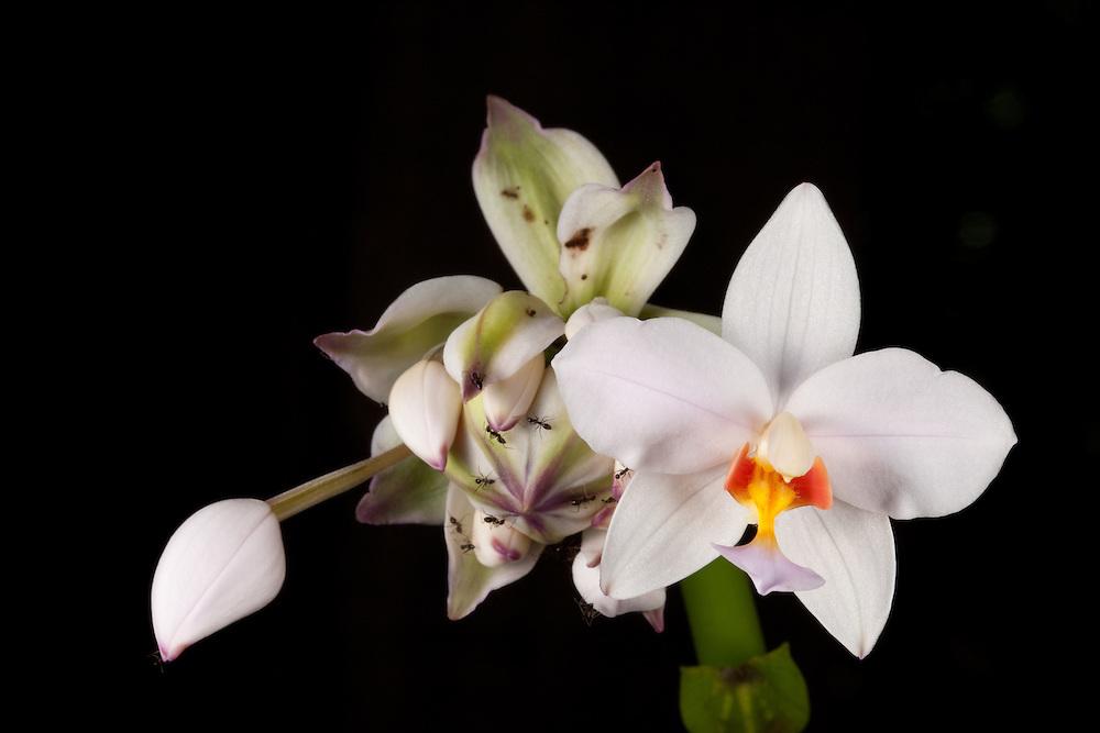 A ground orchid - Spathoglottis plictata - on Kolombangara, Solomon Islands
