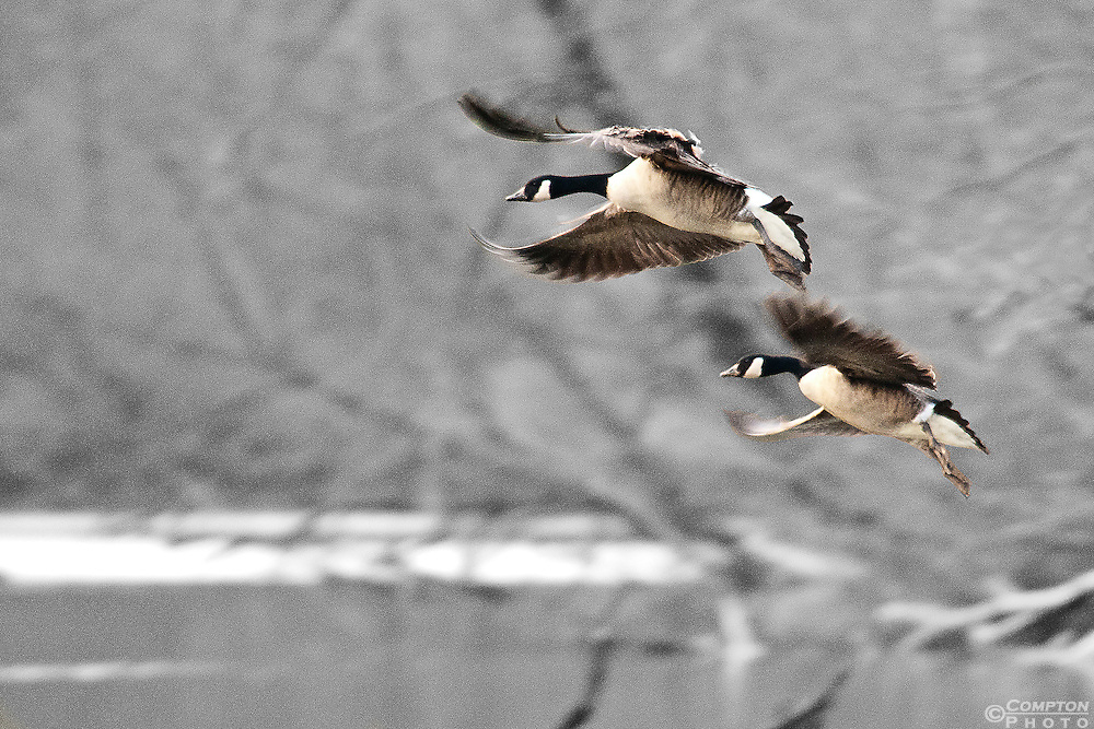 Landing Canada Geese