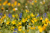 First of July and the western wildflowers are in full bloom in the mountains in Utah.