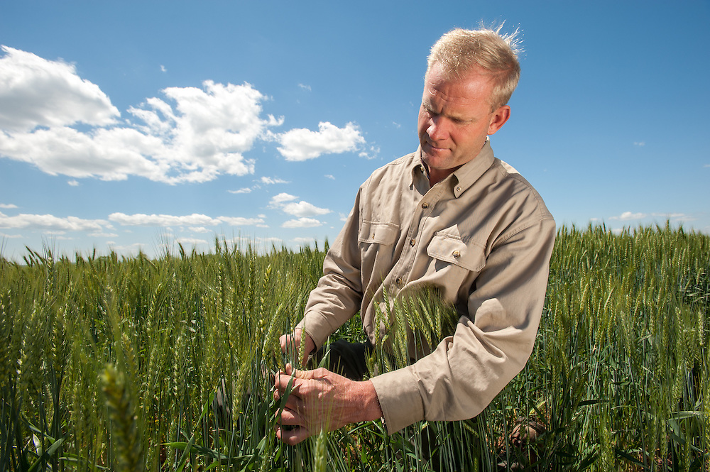 Farmer looking at wheat