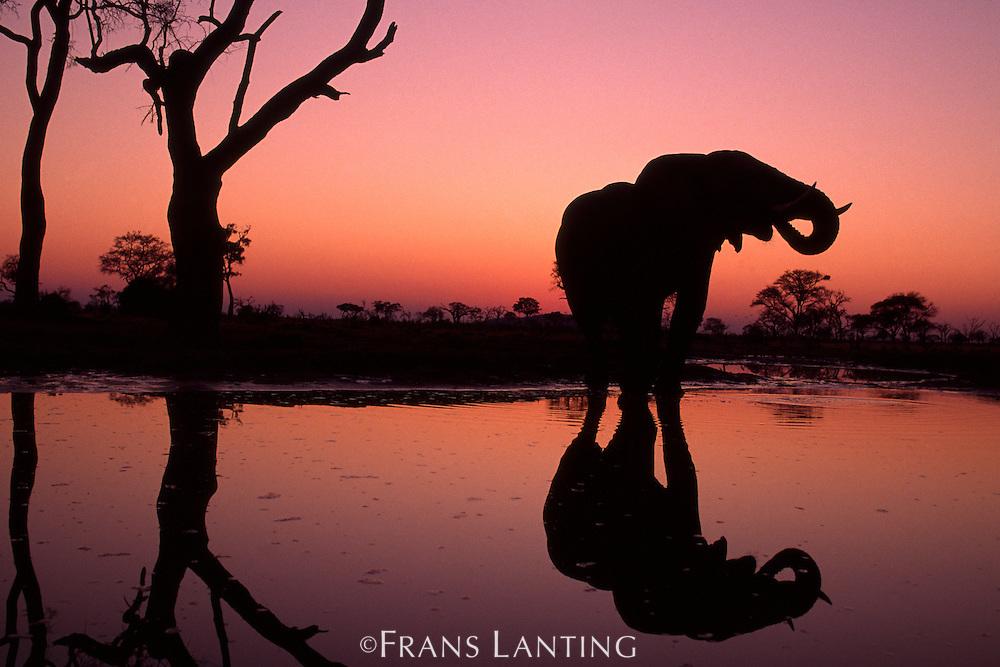 African elephant at sunset, Loxodonta africana, Botswana