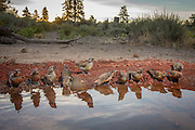 red crossbills (Loxia curvirostra) at a desert watering hole in central Oregon.