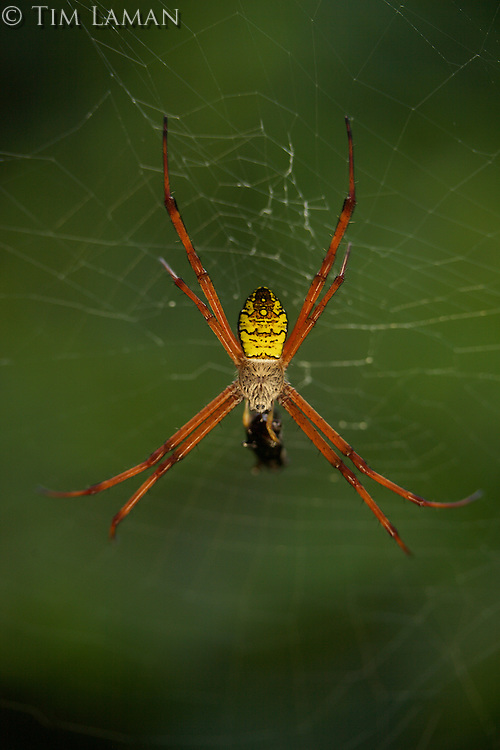 An orb-weaving spider on its web.