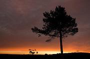 Scots pine (Pinus sylvestris silhouetted at sunrise, Scotland.