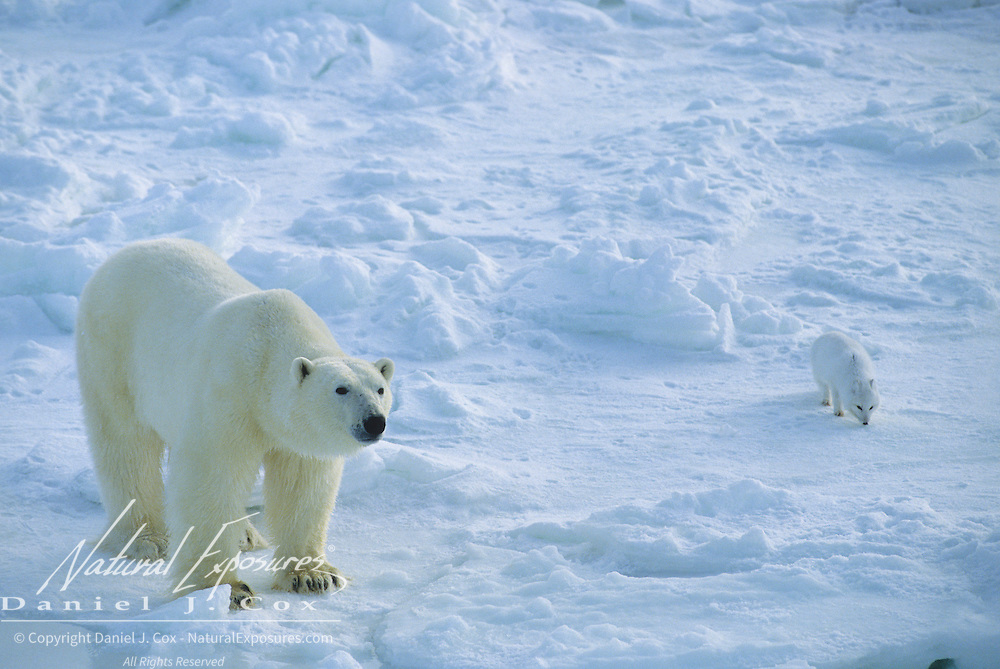 Polar Bear portrait of an adult with an Arctic Fox scavenging nearby. Hudson Bay, Canada