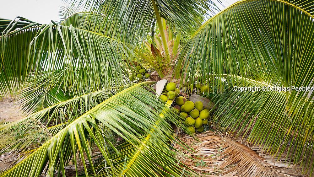 Low coconut palm tree, hawaii